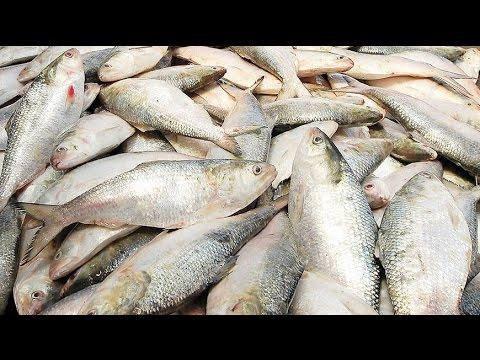 Documentary Film Video of Bangladesh National Fish Ilish
