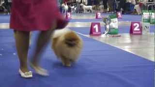 Трейлер Россия 2012 Russia 2012 international show pomeranian