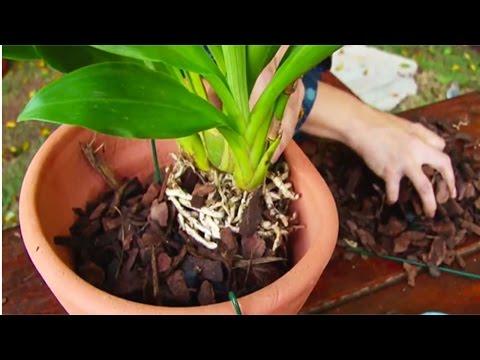 Clique e veja o vídeo Cultivo de Orquídea - Plantio de Orquídea