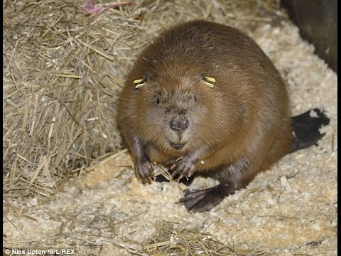 Beavers released into the wild for first time in 800 years
