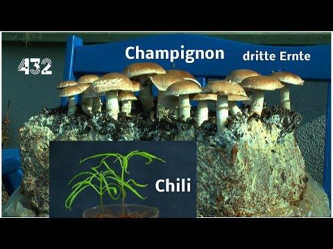 Stein Champignon die dritte Ernte / kurzer Trip in den Garten.