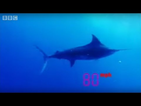 Black marlin - the fastest fish on the planet - Ultimate Killers - BBC wildlife
