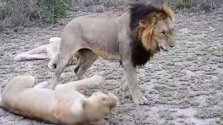 Lions mating next to vehicle Southern Pride Lion Sands