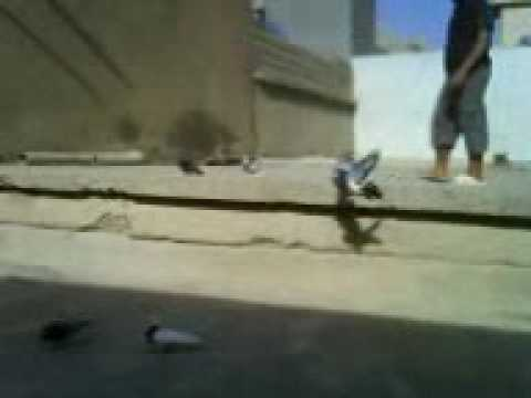 Kotri Slemani ( Talx ) , Kurdish pigeon.