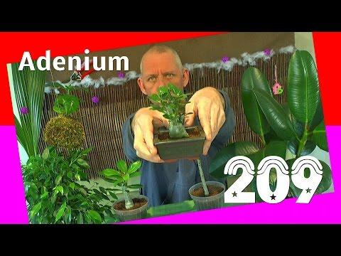 12:08 Exotische Pflanzen. Die Wüstenrosen Im Winter