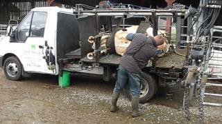 Foot Trimming Holstein Cow