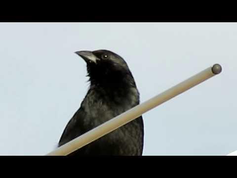 Pássaro Preto cantando solto, ao ar livre, sobre uma antena de TV - Canon SX40 HS [Full HD]