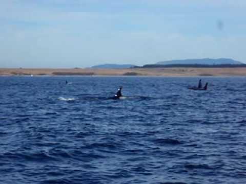 killer whale dork. Killer Whales Breaching Near