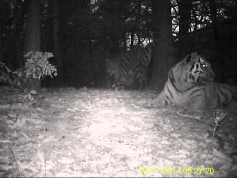 First video of a tiger family in inland China!
