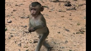 Why Pigtail Baby Monkey To Walk Like This