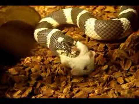 king snake Facts, information, pictures | Encyclopedia.com ...
