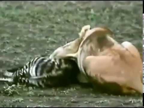 Lion Zebra Baby Lions Kill Baby Zebra Will