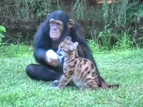 Chimpanzee and Puma
