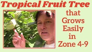 One Tropical Native Fruit Tree You Must Grow in Zone 4-9 that has the Best Amazing Fruit