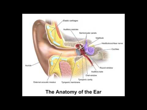 External auditory canal anatomy