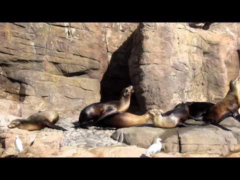 Sea Lion Intercourse (impressive Style) video