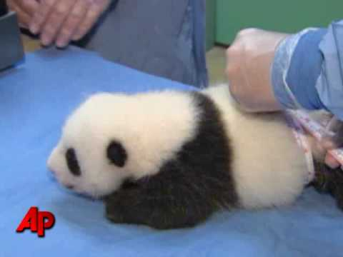 Raw Video: Panda Baby Gets a Checkup Video