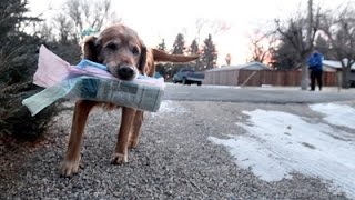 Quincy the Newspaper Delivering Dog