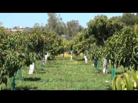 La Axarquía apuesta por el cultivo ecológico de subtropicales