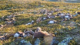 Freak lighting bolts kill 300 reindeer in Norway by : The Telegraph