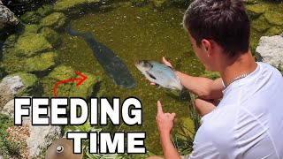 FEEDING My 10lb BASS a MONSTER GIZZARD SHAD!!!