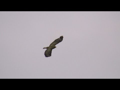 Peregrine Falcon vs Golden Eagle