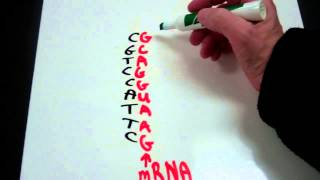Decoding the Genetic Code from DNA to mRNA to tRNA to Amino Acid