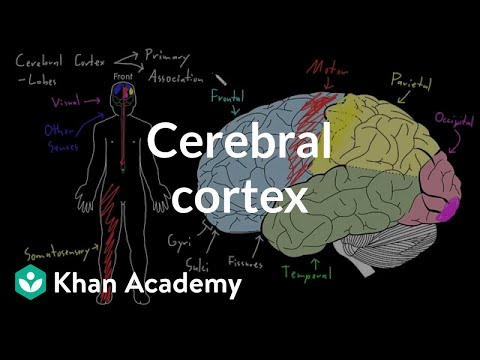 Cerebral cortex   Organ Systems   MCAT   Khan Academy