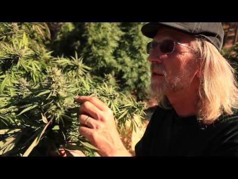 8 Foot Tall Big Outdoor Cannabis Plants - Purple Urkle Goo