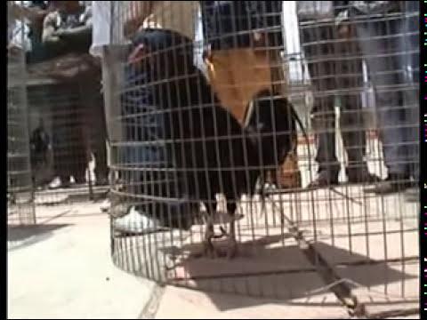 Exposicion de gallos Finos de Pelea
