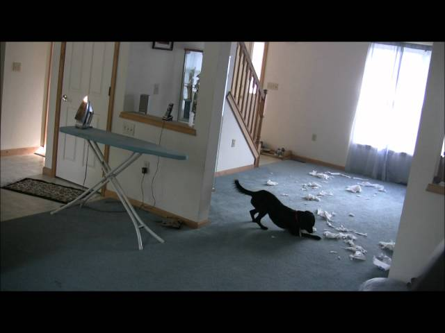 Isabella home alone [FUNNY DOG VIDEO]