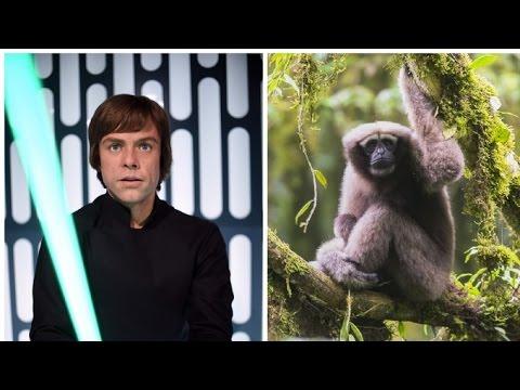 Gibbon species named after Luke Skywalker #1