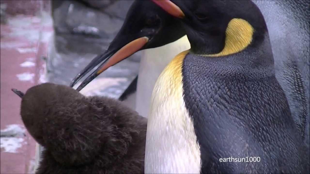 ペンギンの画像 p1_33