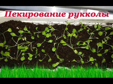 Как сажать семена салата в домашних условиях 60