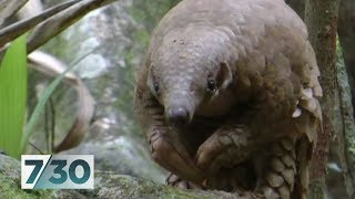 Pangolin at risk of extinction due to trafficking | 7.30
