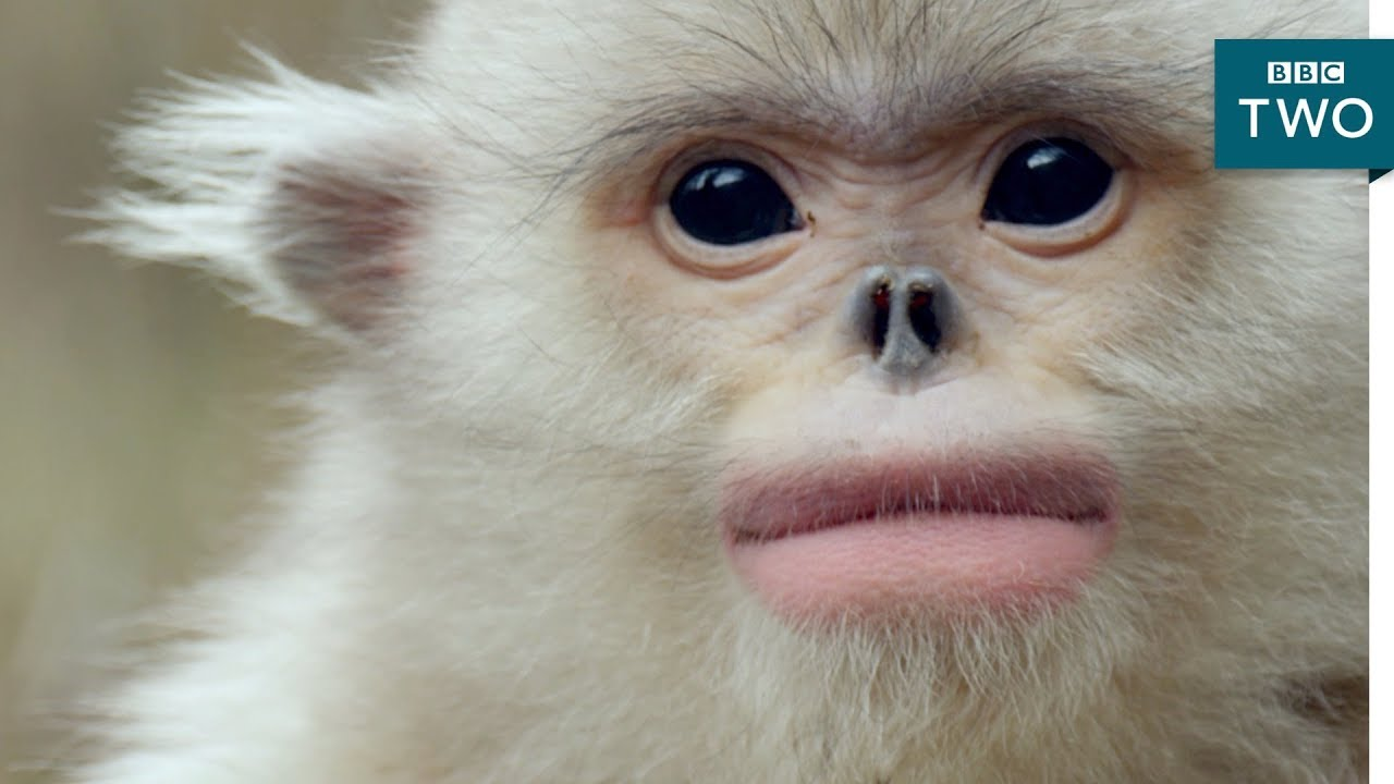 Snub-nosed monkey struggles for survival - Mountain Life at the Extreme: Episode 2 Preview - BBC Two