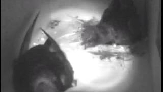 De levenscyclus van Gierzwaluwen in een nestkast