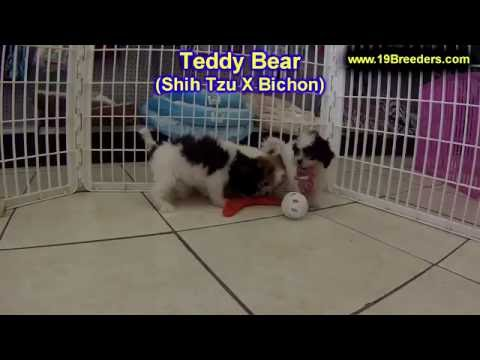 Teddy Bear, Puppies, For, Sale, In, Louisville,county, Kentucky, Ky,  Richmond, Florence, Georgetown video
