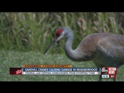 sandhill cranes invade golf community