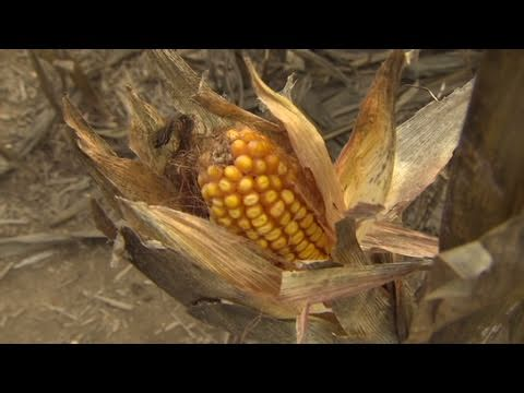 Corn prices high, N.J. farmer is dry