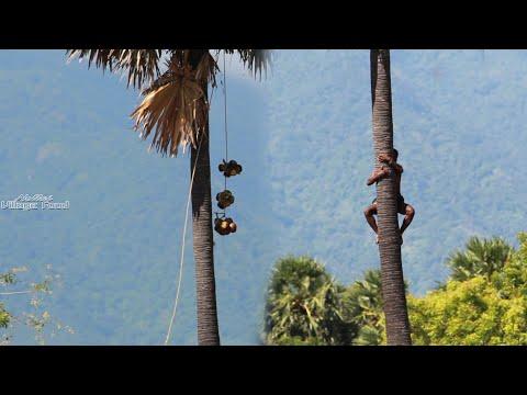 பனை மரத்திலேறி நுங்கு வெட்டும் காட்சி | Time Lapse Video