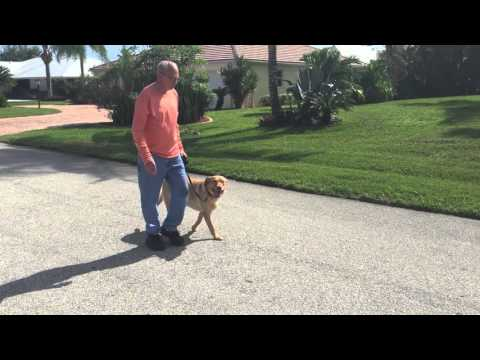 High Energy Labrador Learning to Walk Politely with Elderly Owner! Dog Training Vero Beach, FL.