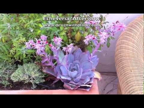 Echeveria Afterglow uk Echeveria 'afterglow'