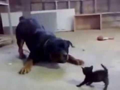 Котенок и ротвейлер