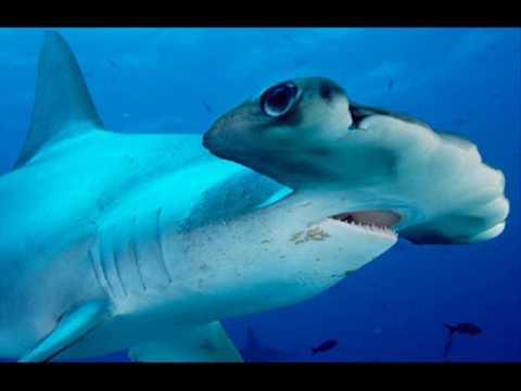 Tiger shark vs hammerhead shark - photo#22