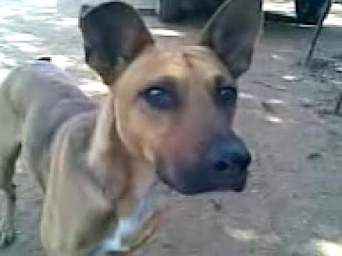 MALEVO... El perro barra brava... CERRO PORTEÑO - LA PLAZA