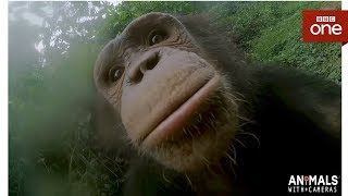 How Does A Chimp Wash Its Hands? - Animals With Cameras Episode 1 | BBC One