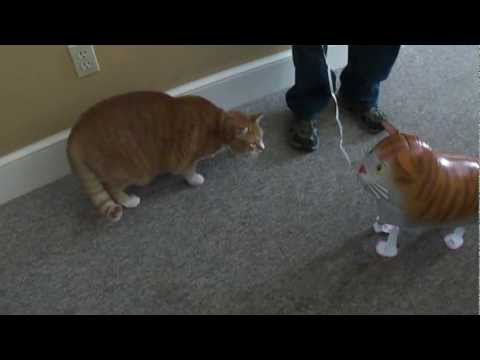LOL CAT ! La rencontre explosive entre un gros chat roux et un ballon chat glonflable