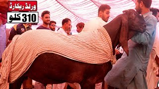 New World Record 310 Kg Goat Wins Faisalabad Bakra Show 2019