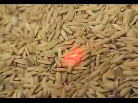 Postharvest: Rice grain drying using the sun